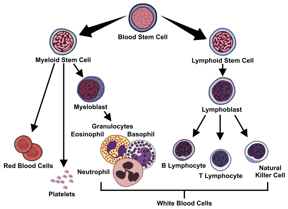 innate immune system - Our innate immune system does not involve the individual antibodies, but rather white blood cells and their mediators. Our white blood cells make up a variety of cell types such as neutrophils, monocytes, eosinophils, mast cells, and various lymphocytes. If you have ever had a blood panel called a complete metabolic panel done, these are the things being measured and looked at. These guys are the first responders that come to the site of insult or injury and they release what are called mediators that then mediate the inflammation, the battle, and the cleanup process. The mediation process then brings in our adaptive immune system as well, and this is where our overlap occurs.