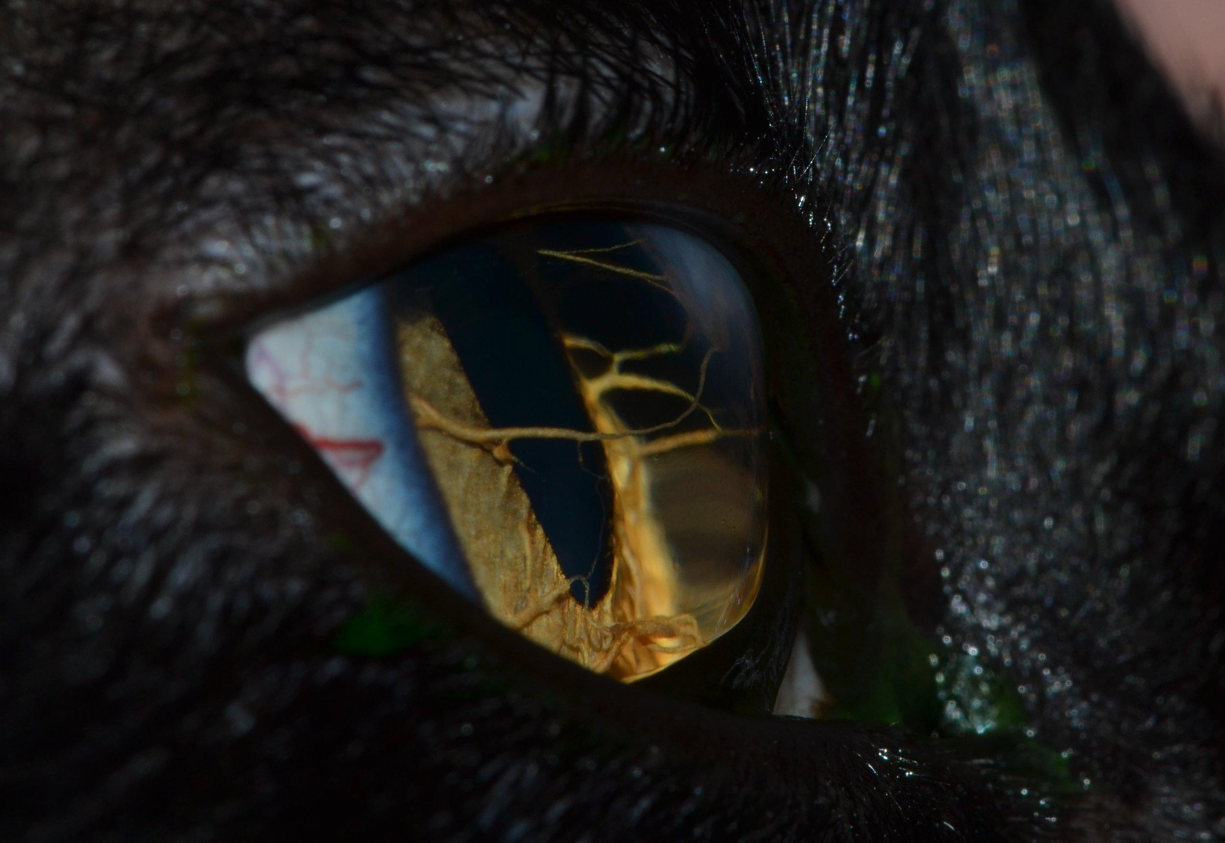 OFA Companion Animal Eye Registry (CAER) Examinations -
