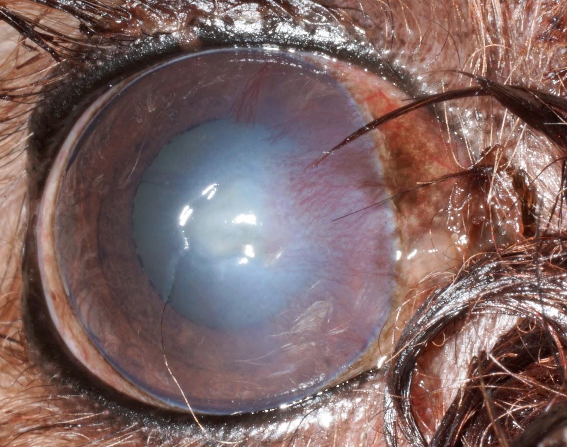 K9 Corneal Stromal Ulcer 3.jpg