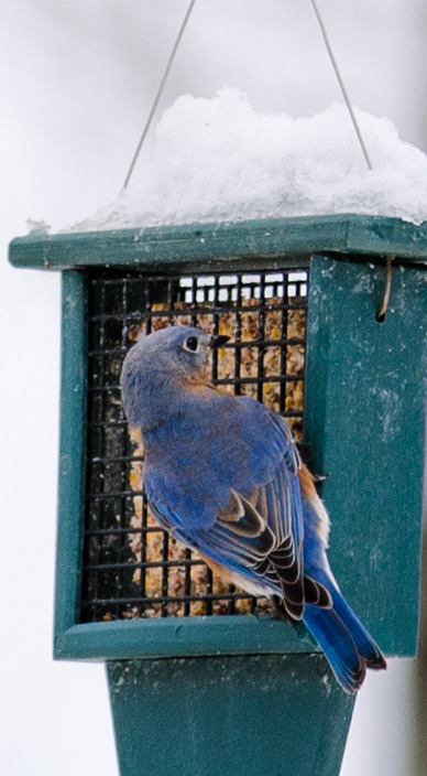 Bluebird Suet Feeder