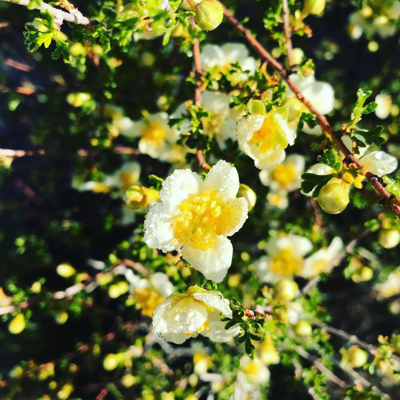 Cliffrose in full bloom