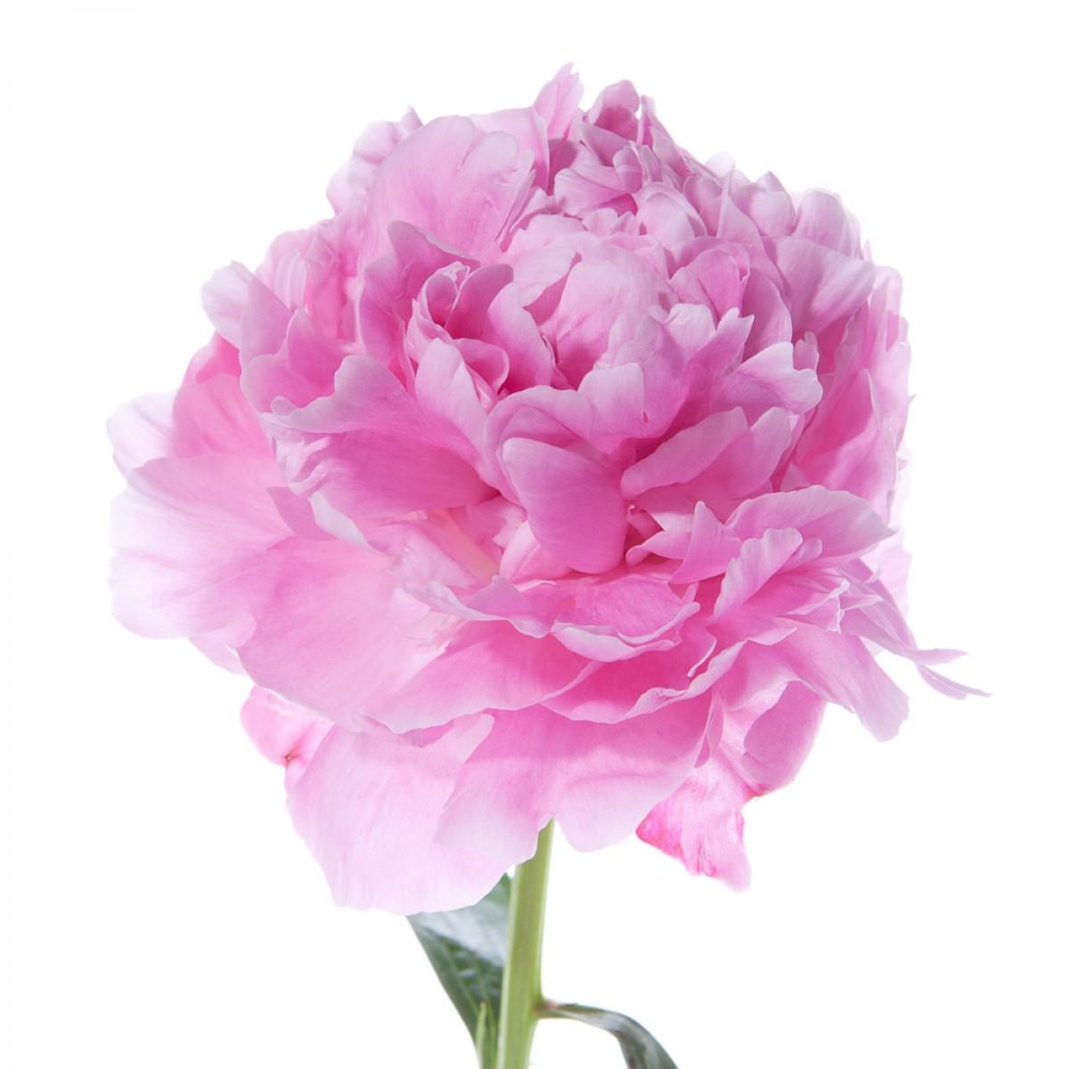 hot-pink-peonies-1.jpg
