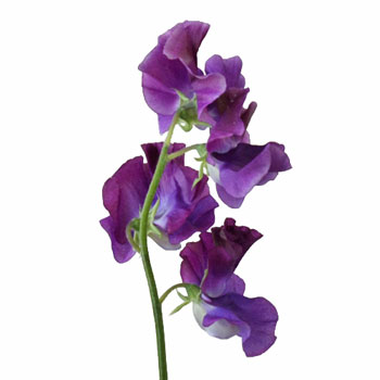 DarkPurple-SweetPeas-Stem-350_c40e0b1d.jpg