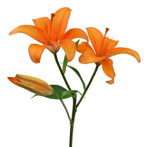 lily orange.jpg