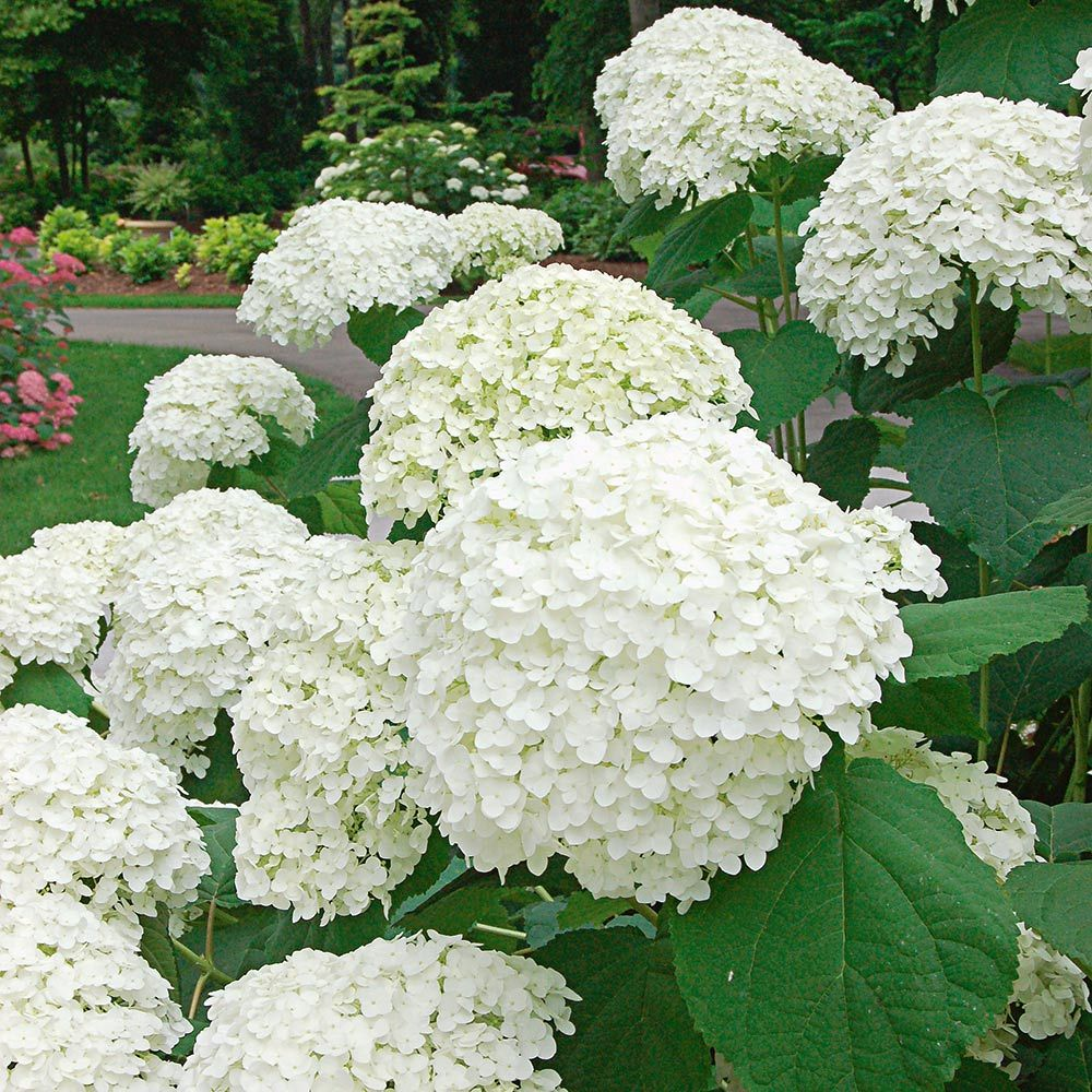 white hydrangeas.Jpg