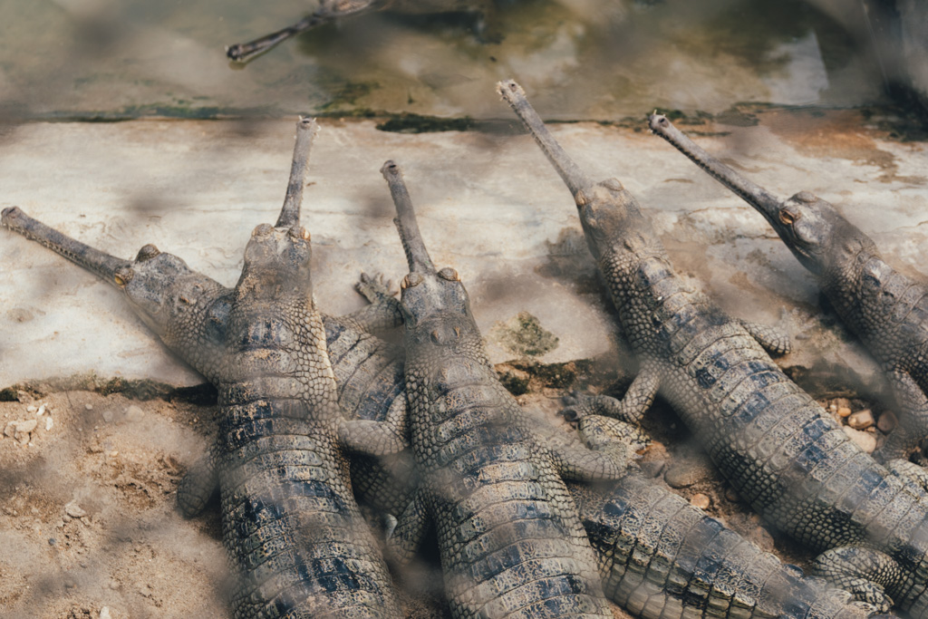 Gharials in Chitwan National Park