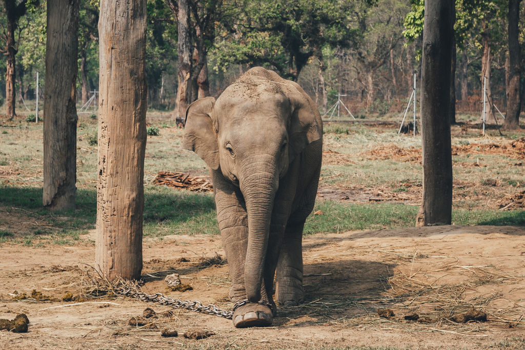 A chained elephant calf in Chitwan National Park, Nepal