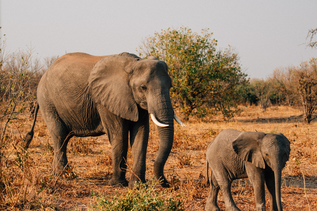 Elephants in Chobe National park - Botswana things to do