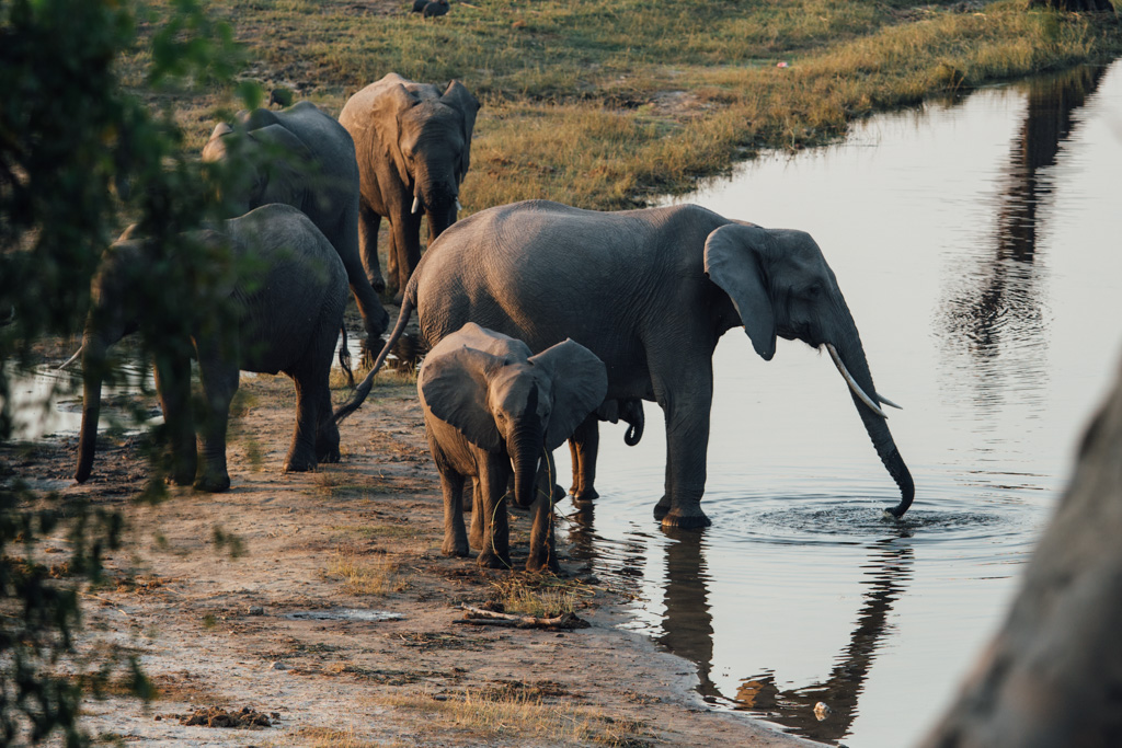Elephant families bathing at Chobe National park - Botswana things to do
