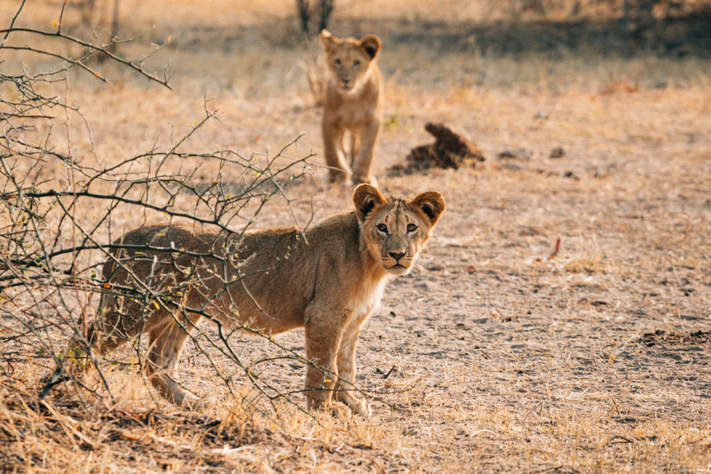 Lion cubs in the Chobe National park - Botswana things to do