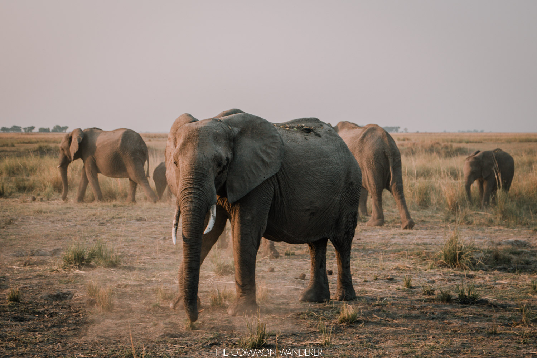 A elephant kicks up dirt in Chobe National Park, Botwana - The Common Wanderer