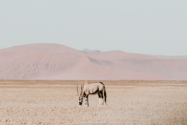 An Oryx grazing in Namibia, Namibia photos