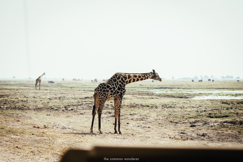 A giraffe in etosha national park Namibia