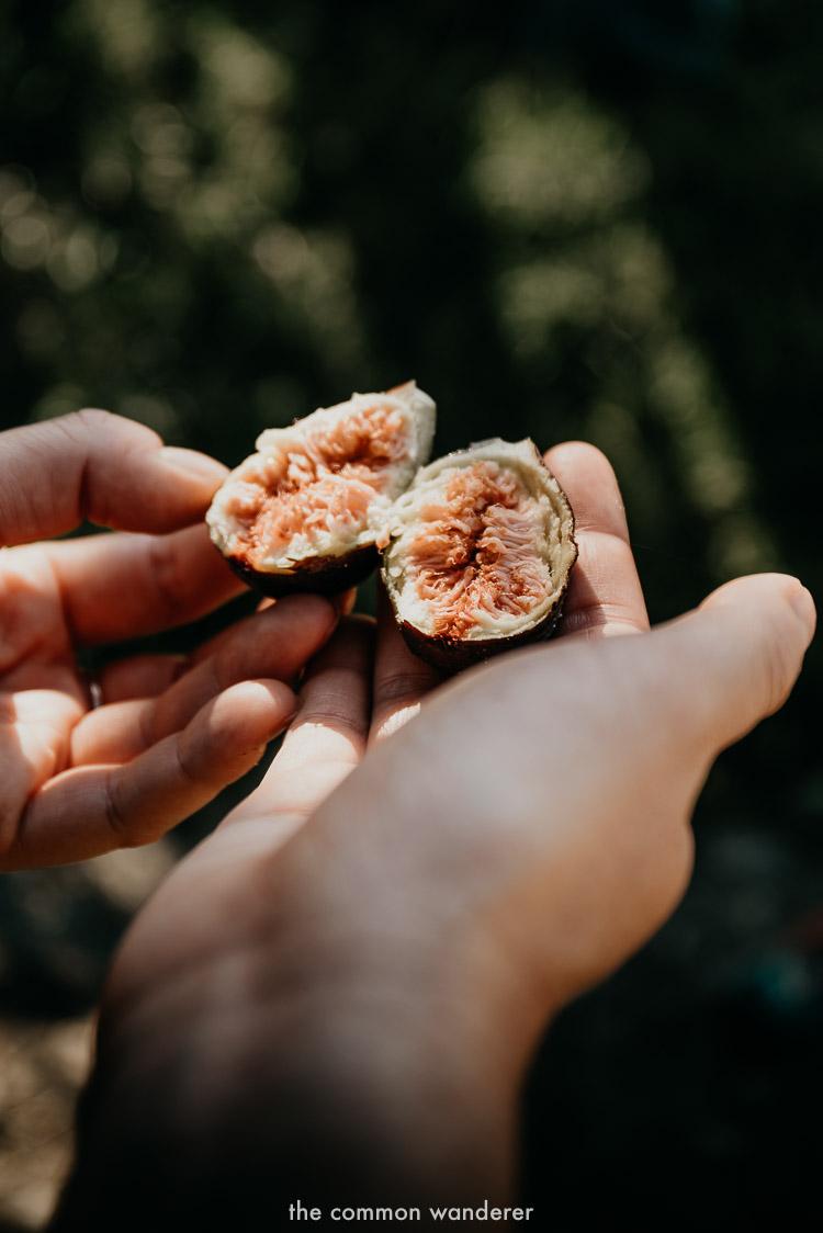 Fresh figs while hiking the Via Matildica in Emilia Romagna, Italy