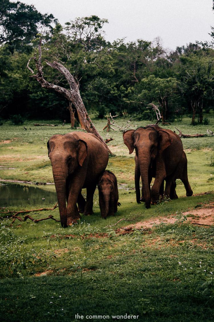 Elephants in Yala National Park - best things to do in Sri Lanka
