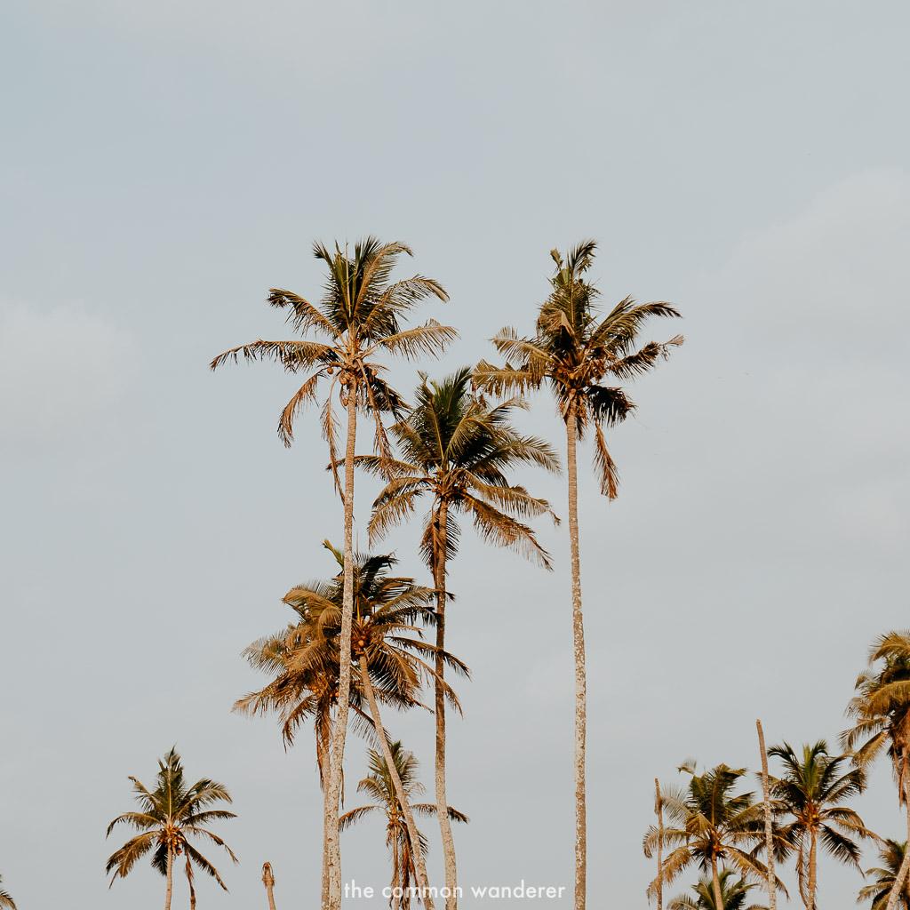 Golden palm trees of Goa, India
