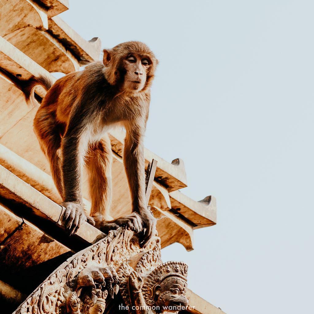 A monkey overlooking Swayambhunath temple, Kathmandu