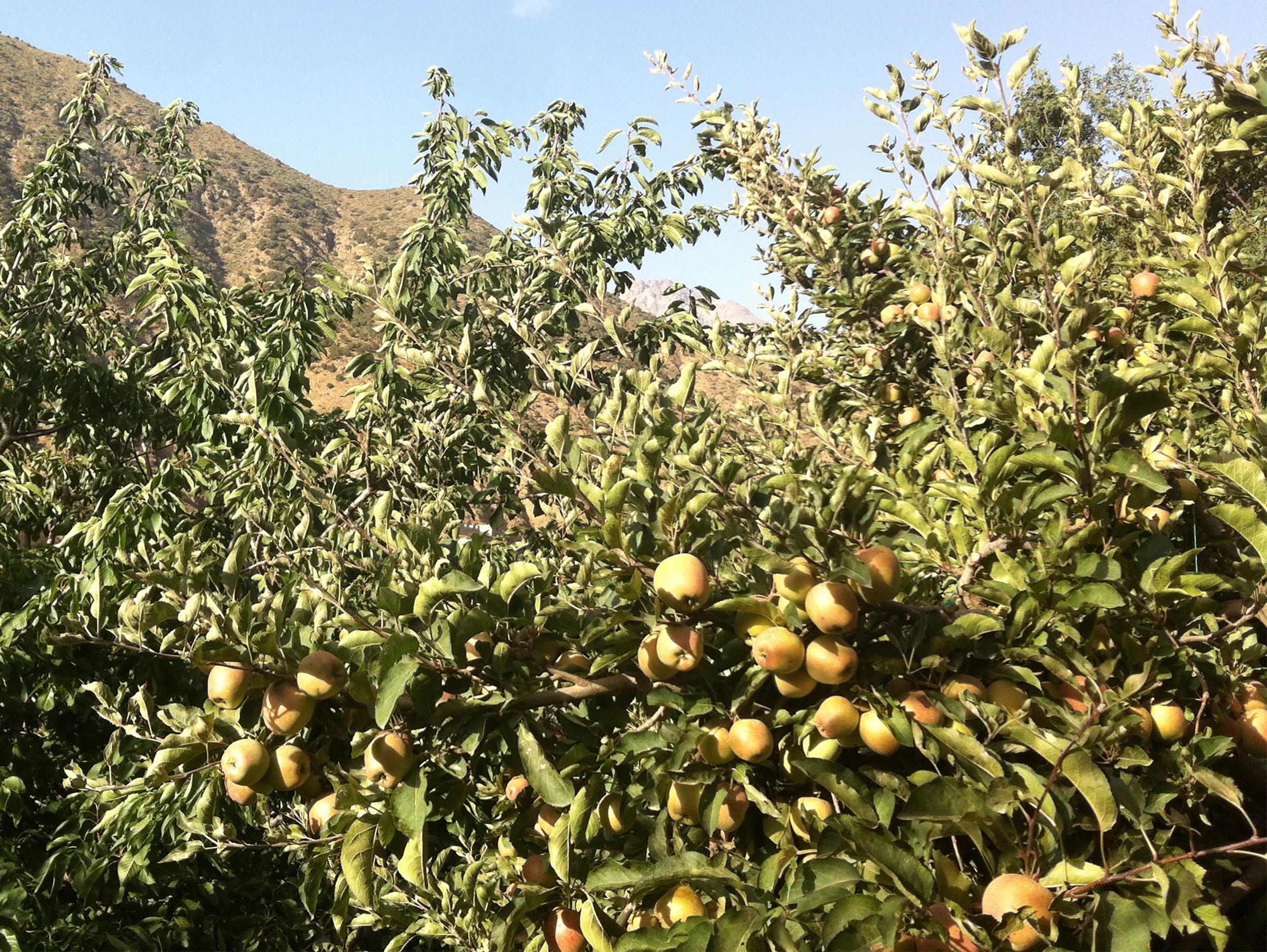 A Apfel .jpg