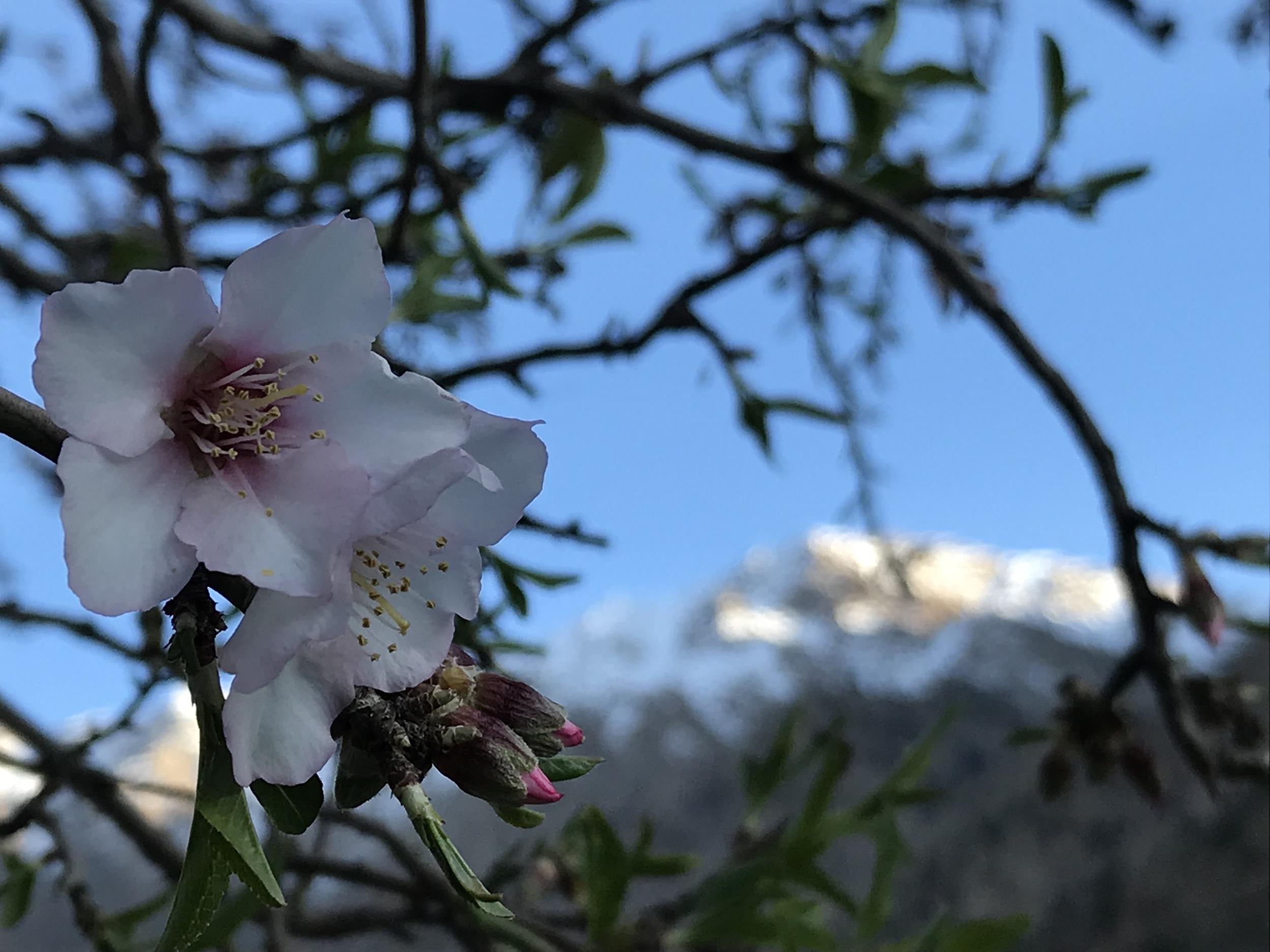A Mandelblüte.jpg