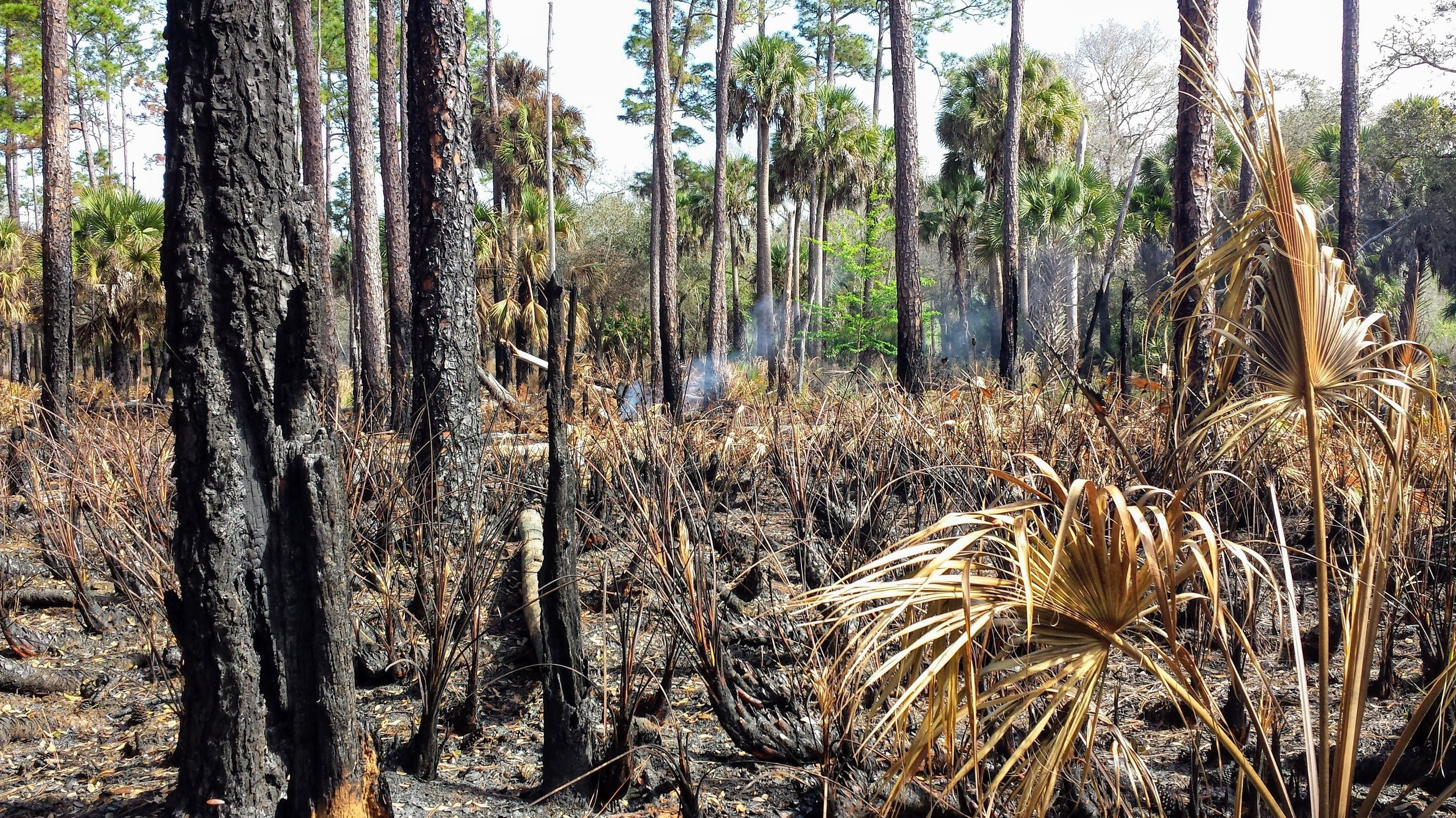 I stumbled upon this controlled burn in March 2014 during my 550-mile section hike of the Florida National Scenic Trail.