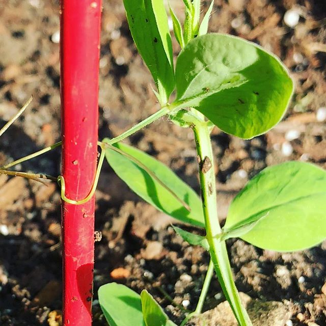 This Lathyrus odoratus (sweet pea) can grow to reach 6' but not without support. We humans should take a lesson from plants. . . . . . #somatic #somaticpsychotherapy #ecopsychology #embodiedmetaphor#keeplearning #socialengagementsystem #ventralvagal