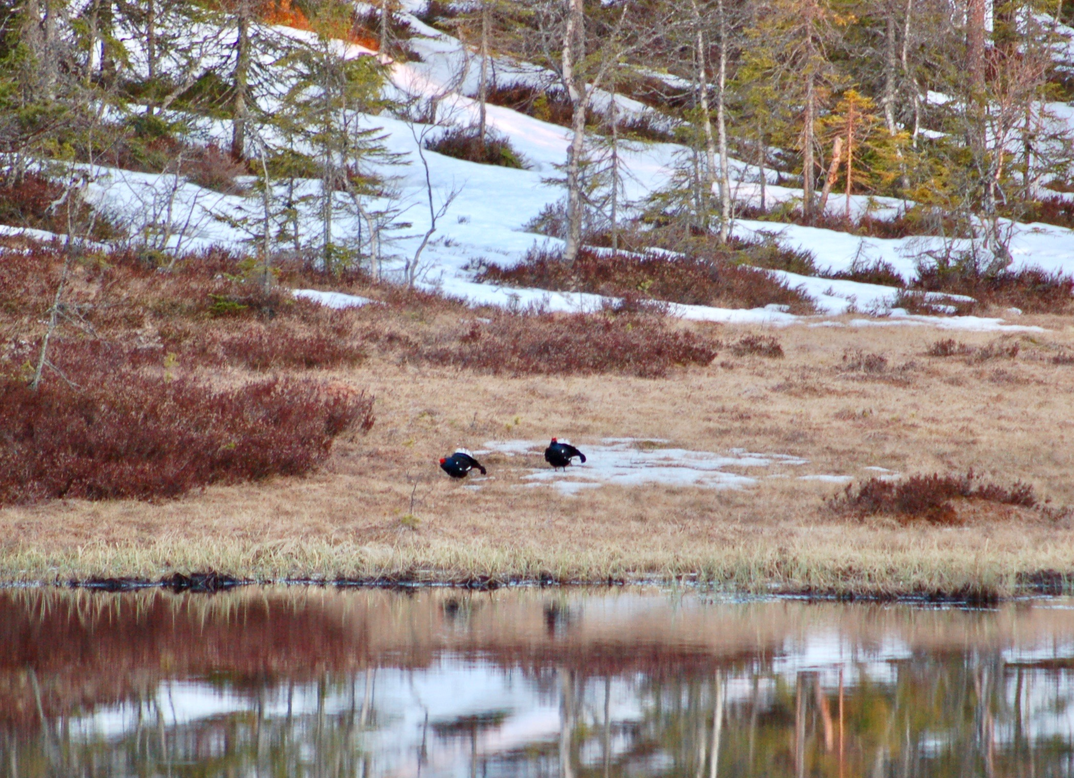 Black Grouse arriving at the scene (Photo: Oslo Outdoor)