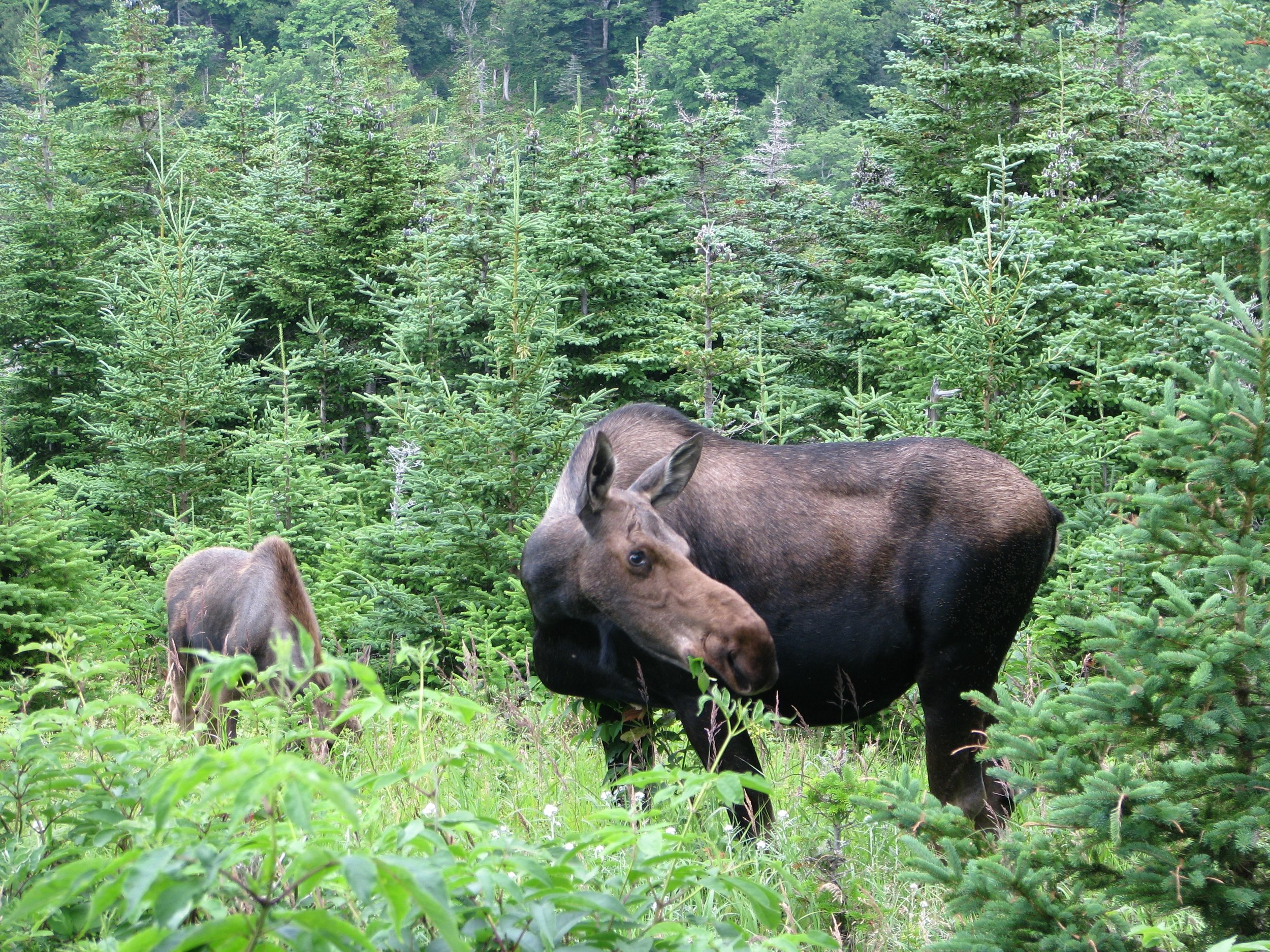Moose cow and calf (Photo: Stephane Kirouac)