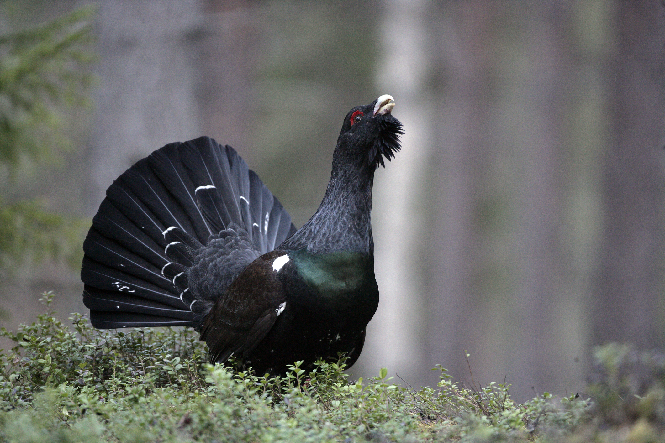 Male capercaillie during the mating ritual (Photo: Mike Lane)