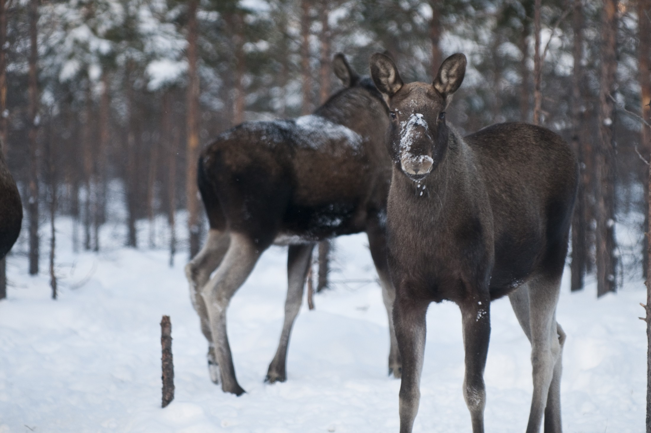 Moose in the forest (Photo: CH/VisitNorway)