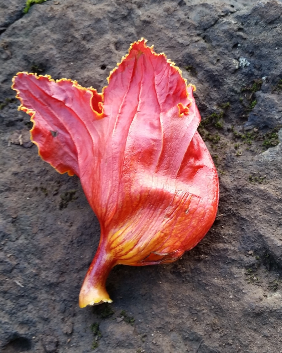 African Tulip tree  (or Spathodea campanulata or Nandi flame). Yes, this is the one.