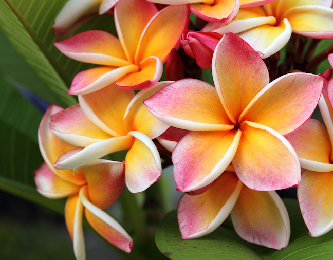 Hawaiian Flower.png