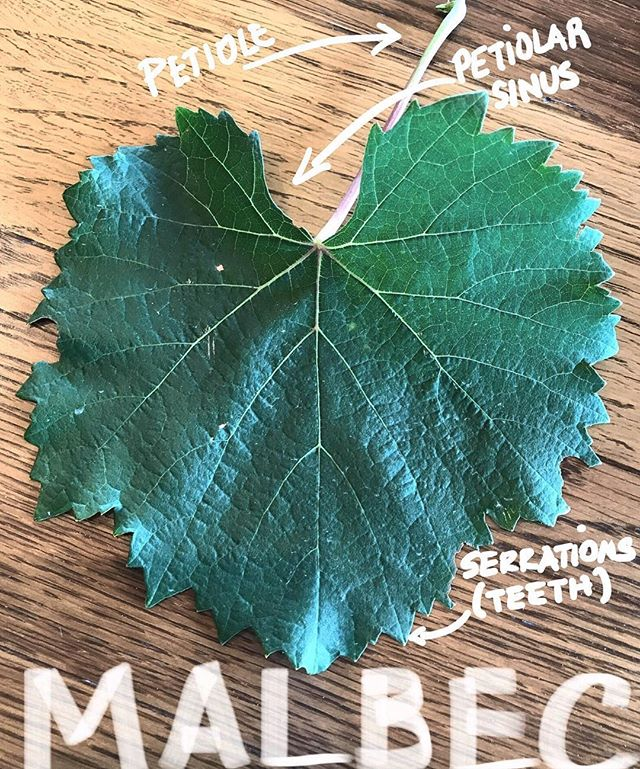 Each grape variety's leaves are unique with characteristic shapes, coloring, size and visual features.🍀🍀🍀🍀 . This Malbec leaf is heart-shaped, with a U shape  petiolar sinus and shallow pointy teeth. It is shinny, thick  and  has a leathery texture. . #malbec #vineleaves #leafvine #winestudy #winelover #leavesphotography #somm #wset #wineeducation #closdelossiete #ampelografia #ampelography