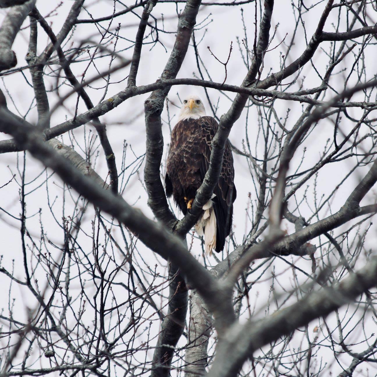 eagle in tree.jpg
