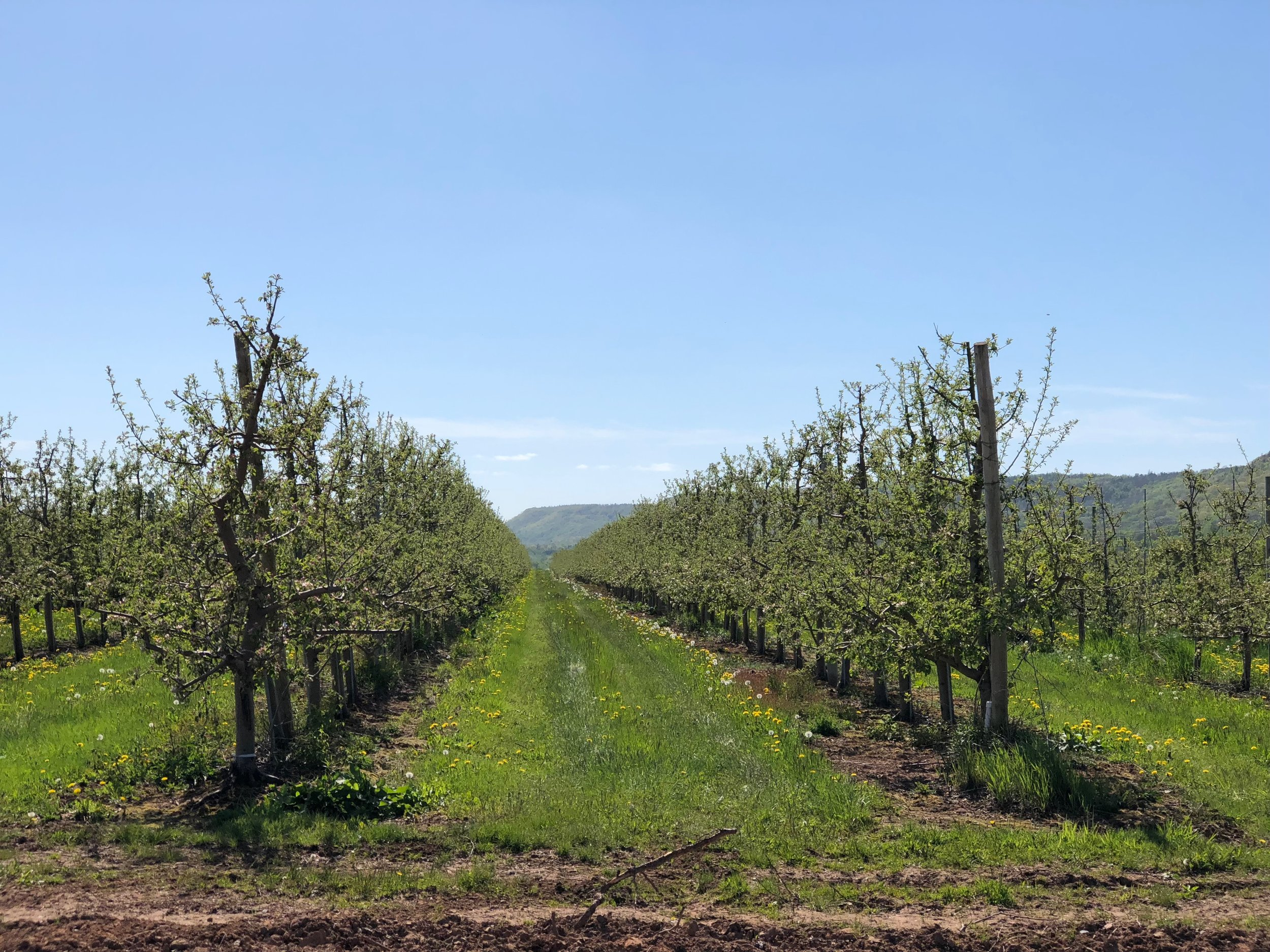 apple trees nova scotia