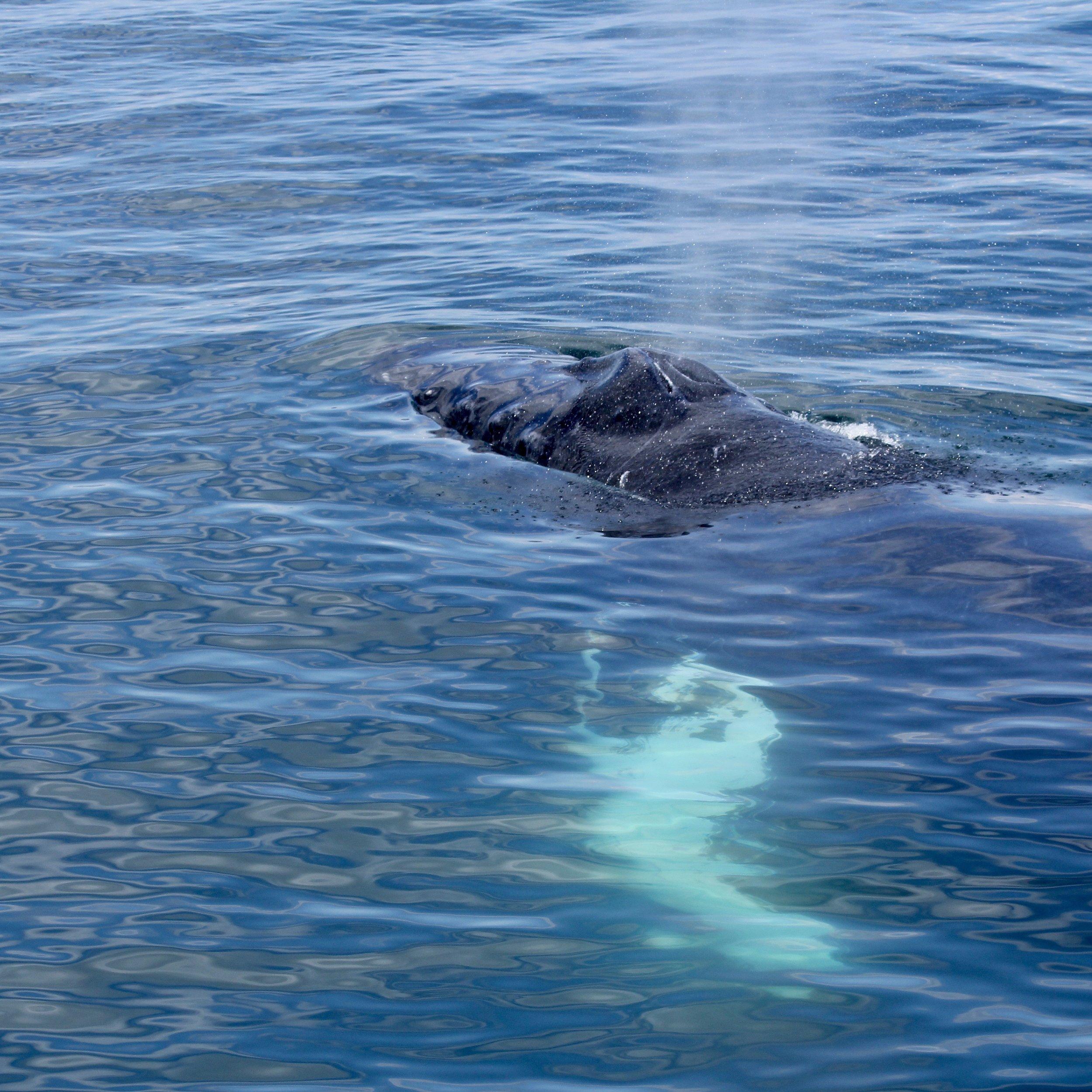humpback whale blow.jpg