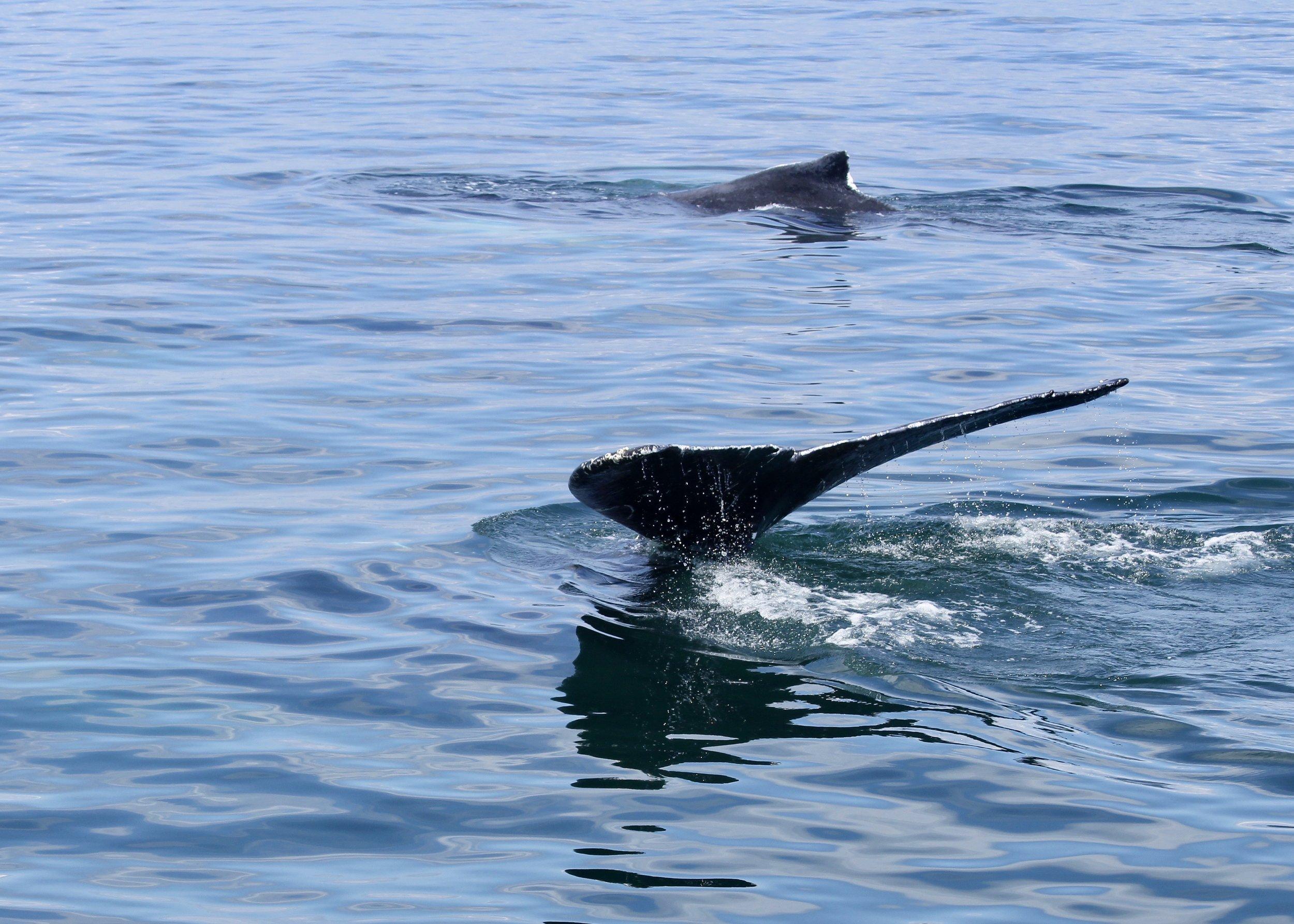 humpback whales diving.jpg