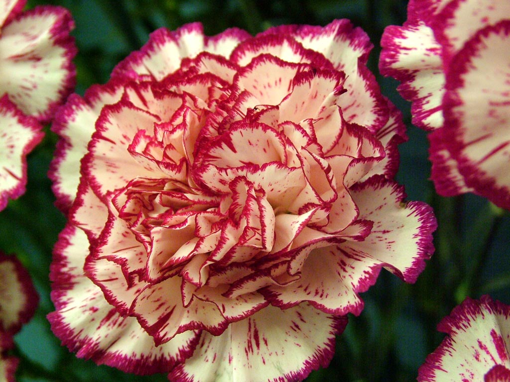 carnations_peppermint_1.jpg