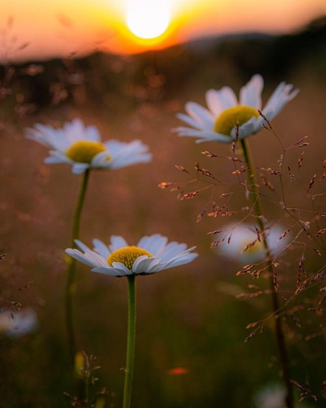 Sun sets over a wildflower meadow in the Bieszczady National Park.  #bukoweberdo #bieszczady #bieszczadymountains #magicznebieszczady #bieszczadyphotography #biesy #bieszczadysąpiękne #góry #wgorachjestwszystkocokocham #kochamgóry #zyjebysiewloczyc #canonpolska #naszapolska #moonlight #the_gallery_of_magic #master_pics #polskajestpiękna #pełnia #krajobraz #karpaty #carpathiansmountains #noc #polskafotografia #picoftheday #the_mirror_of_our_souls