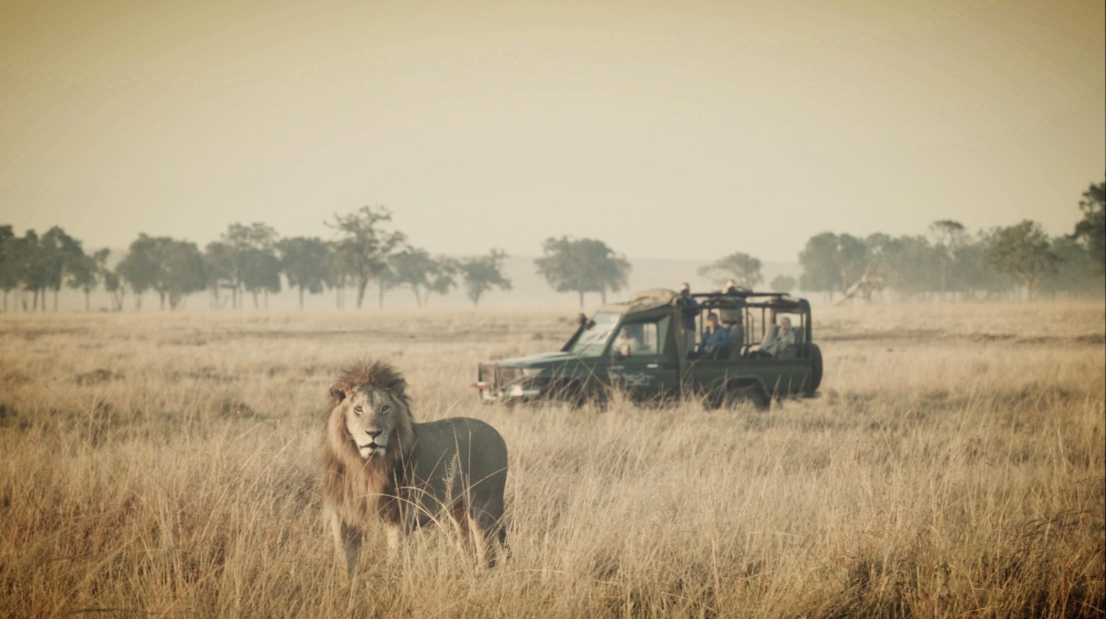 Lion Stares at Camera in Maasai Mara
