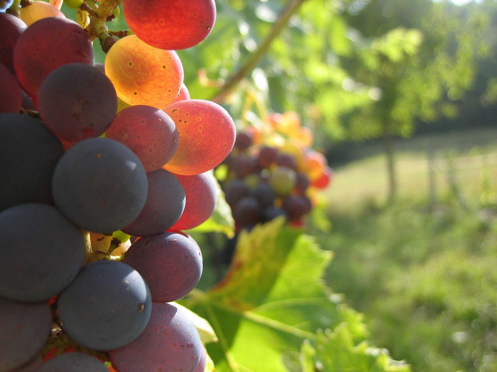 winegrapes.jpg