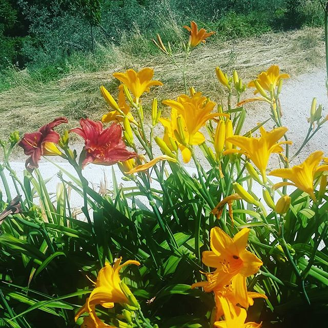 Delicious day lilies for salad