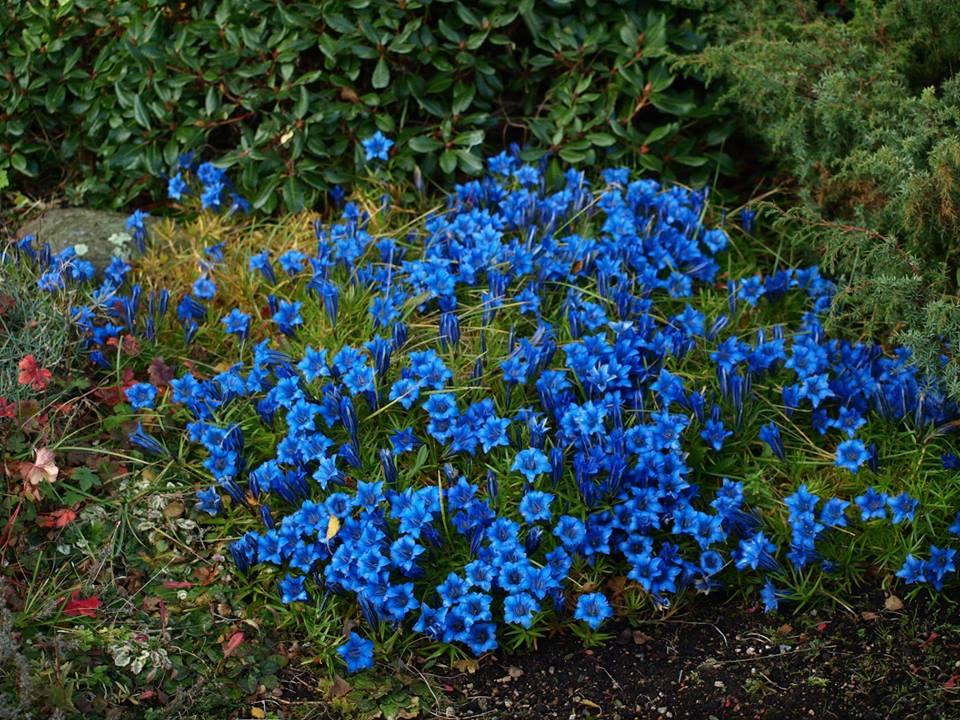 Gentiana-sino-ornata-knock-cottage-garden