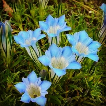 "Gentiana sino-ornata "" sichuan""  flowering just now, this remarkable pale turquoise  colour gentian.  #gardening #flower #flowers #autumn #autumngarden #flowerstagram #garden #gardenlife #gardens #flowerslovers #gardener #gardenlove #scottishgardens #knockcottage"