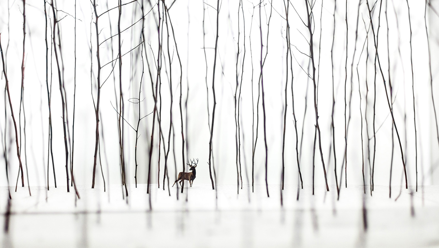 Todd Murphy,  Stag in Woods , 2016, archival digital print on panel, 44 x 84 inches