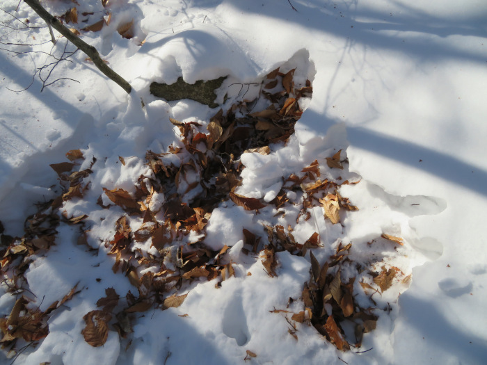 Deer dig in the snow for beechnuts. In the early spring they will do this for early fiddleheads.