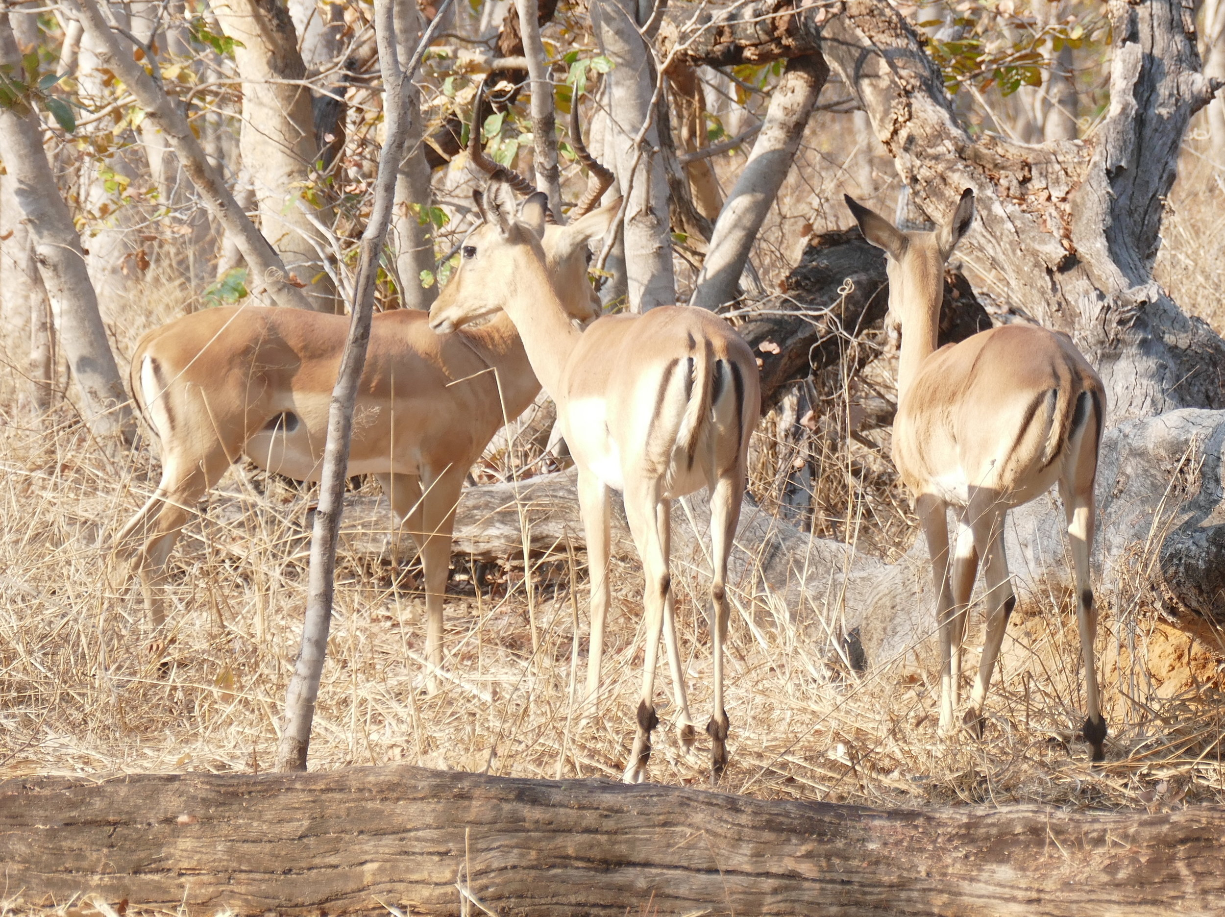 Impalas, painted dogs favourite food