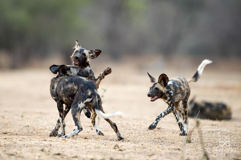 Playfull pups at Mana Pools