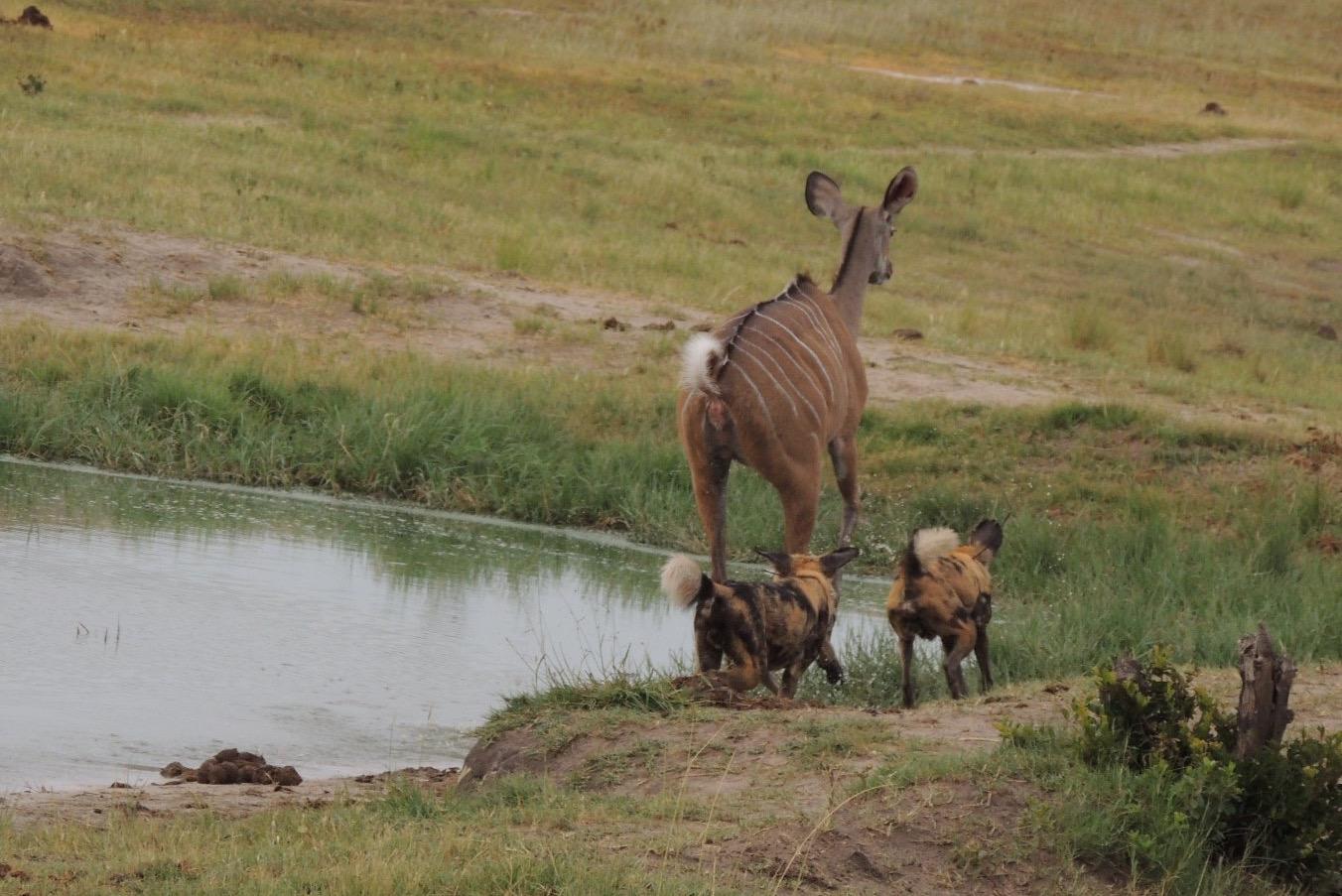 Kudu vs painted dog!