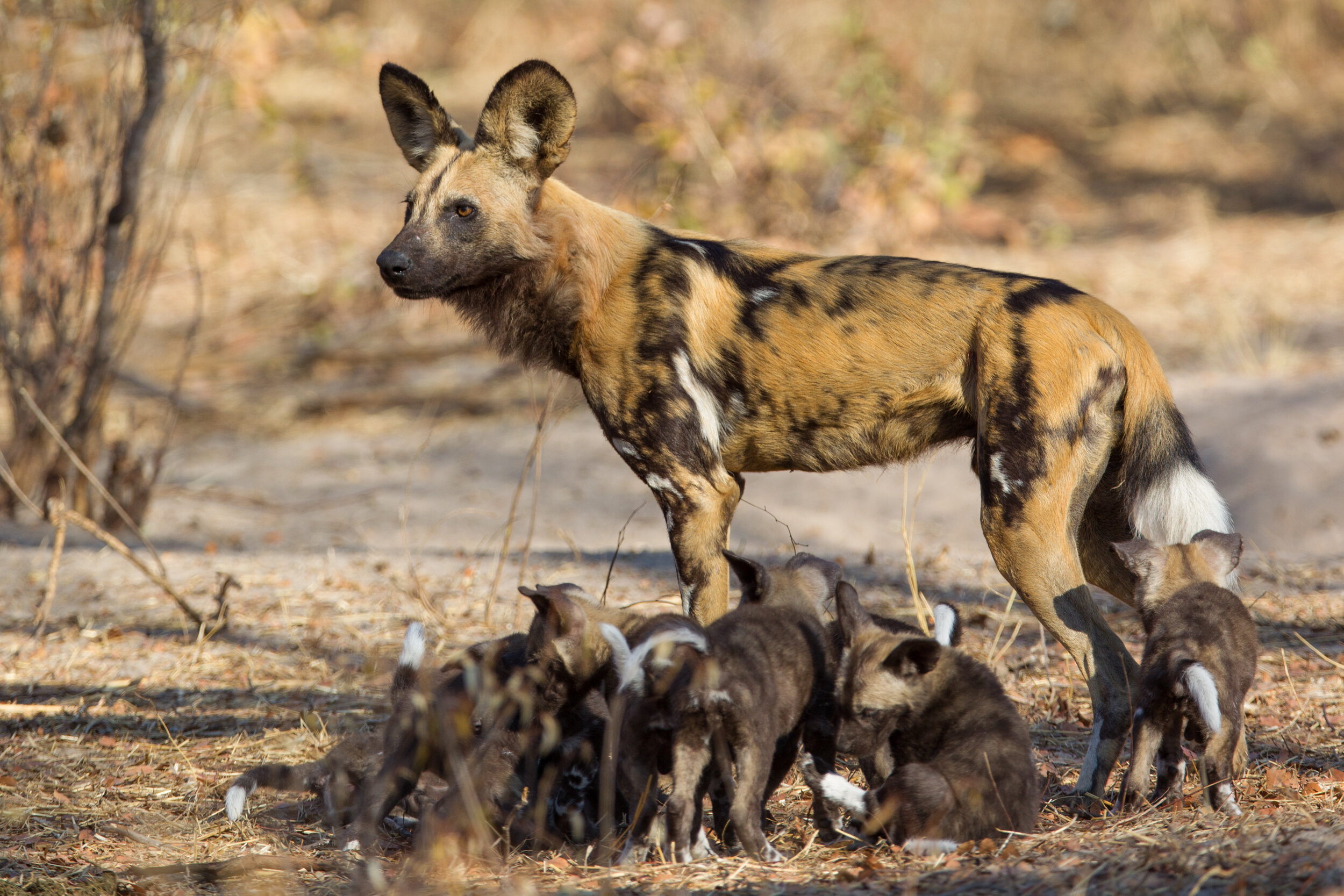 ©Will Burrard Lucas: Browny and Socks' (his alpha female) pups in 2013 at the den.