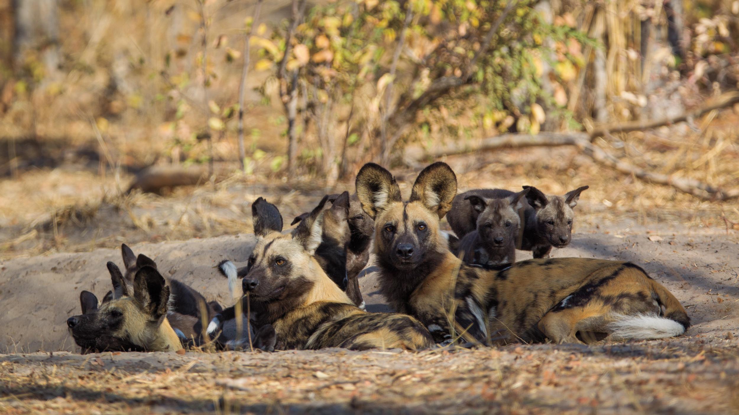 ©Will Burrard Lucas: Browny and his Nyamandlovu family